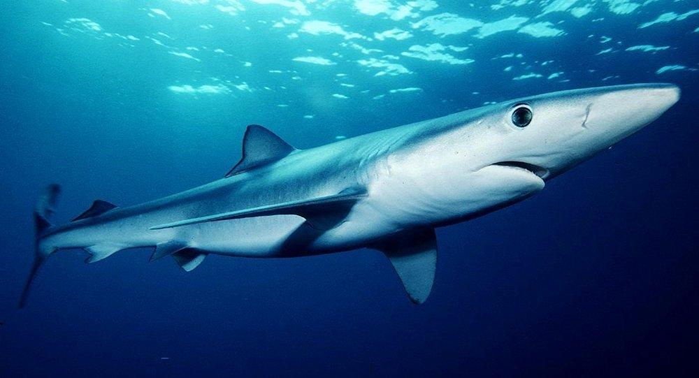 Tubarão-azul no sul da Califórnia (imagem de arquivo)
