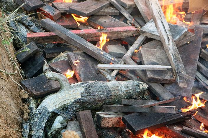 Cadáveres de 292 crocodilos que foram mortos no sábado (14) por moradores do povoado indonésio de Sorong