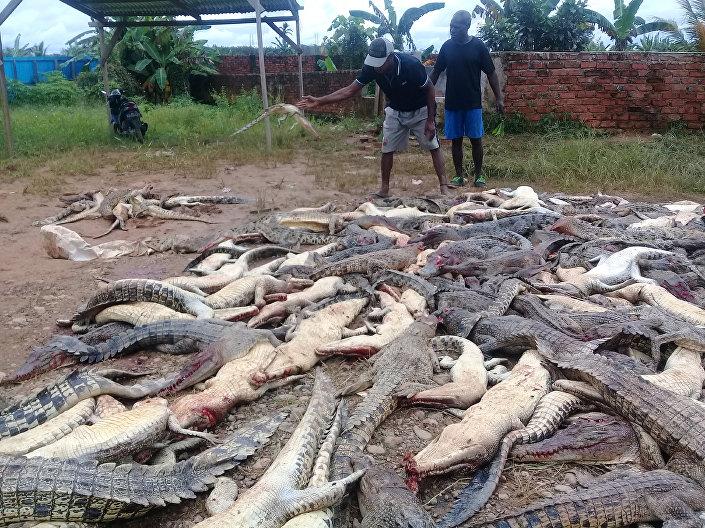 Crocodilos mortos no sábado (14) por aldeões do povoado indonésio de Sorong