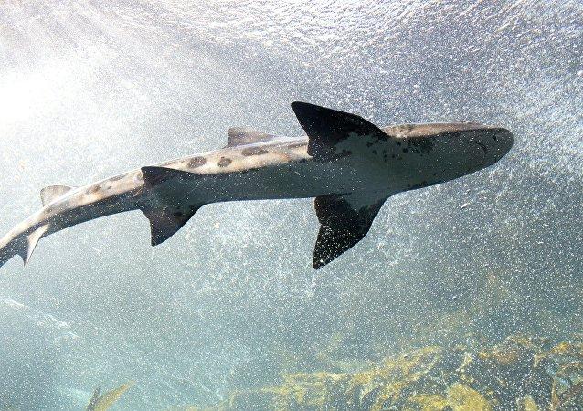 Um tubarão (imagem referencial)