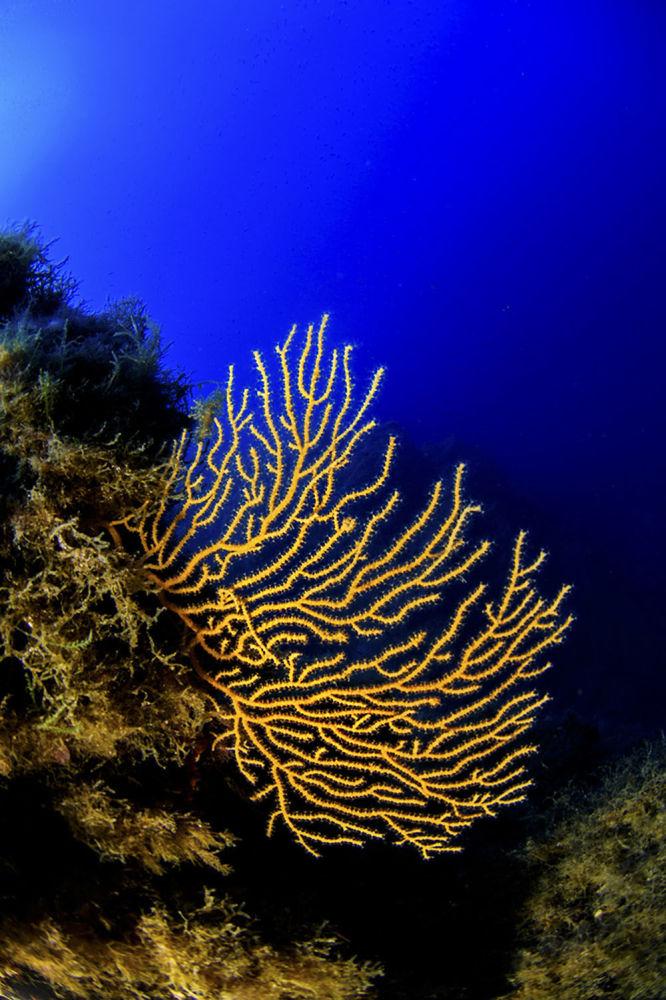 Gorgonia amarela – mais um habitante do fundo marinho dessa área italiana tão rica em termos de diversidade biológica