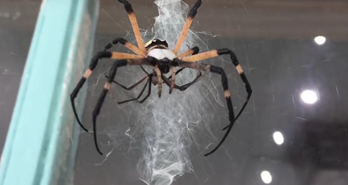 Aranha devora outra aranha menor