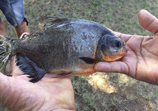 Peixe pacu típico da América do Sul foi capturado por uma menina de 11 anos em um lago de Oklahoma (EUA), em 22 de julho