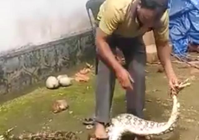 Indiano obriga píton a devolver suas galinhas engolidas