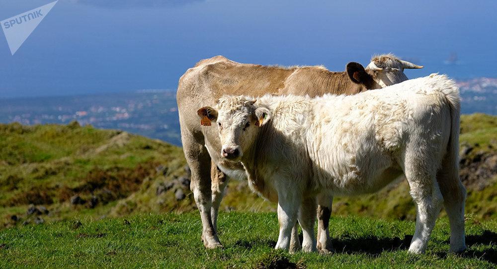 Gado no campo em uma das ilhas dos Açores, foto de arquivo