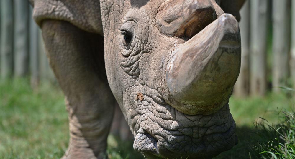 O último macho do rinoceronte branco do norte chamado Sudão, 5 de dezembro de 2016 (foto de arquivo)