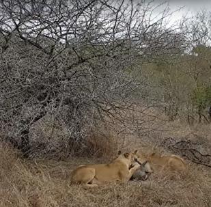 Leoas comem javali vivo antes da chegada de hienas