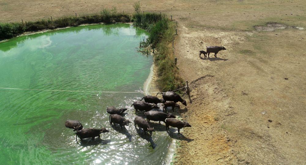 Manada de búfalos sai de pequeno reservatório para um solo árido na Holanda