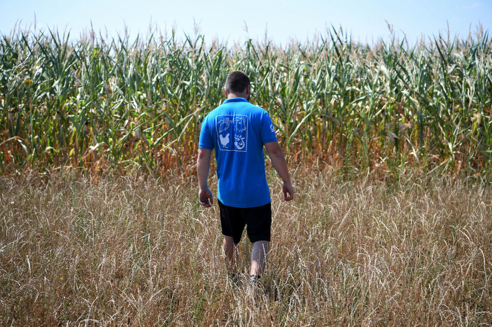 Fazendeiro anda por campo de milho danificado pelo calor, França
