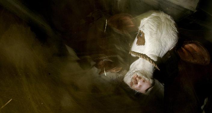 Vaca durante a Exposição de Gado, Buenos Aires, Argentina, 25 de julho de 2006