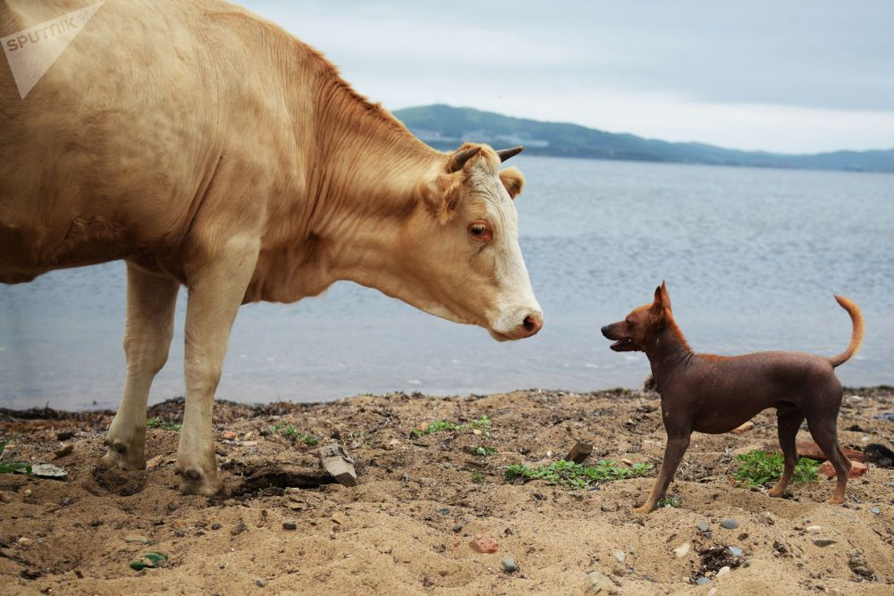 Animais no povoado de Putyanina, na região de Primorye, na Rússia