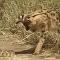 Felino selvagem caça cobra que falha em escapar das garras