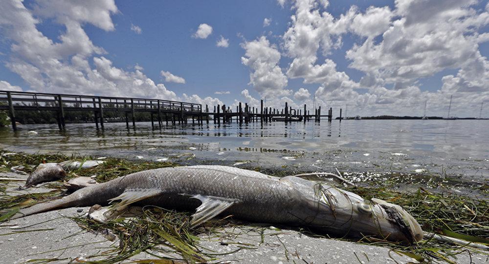 Peixe robalo-branco morto na praia de Bradenton, Flórida, EUA, 6 de agosto de 2018
