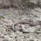 Pássaro dilacera entranhas de serpente (IMAGENS FORTES)