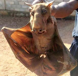 Cachorros com asas, oficialmente chamados de Hypsignathus monstrosus, são uma espécie de morcego que habita a África