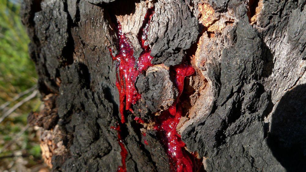 Árvore Corymbia gummifera ao sangrar, comum nas regiões do leste australiano