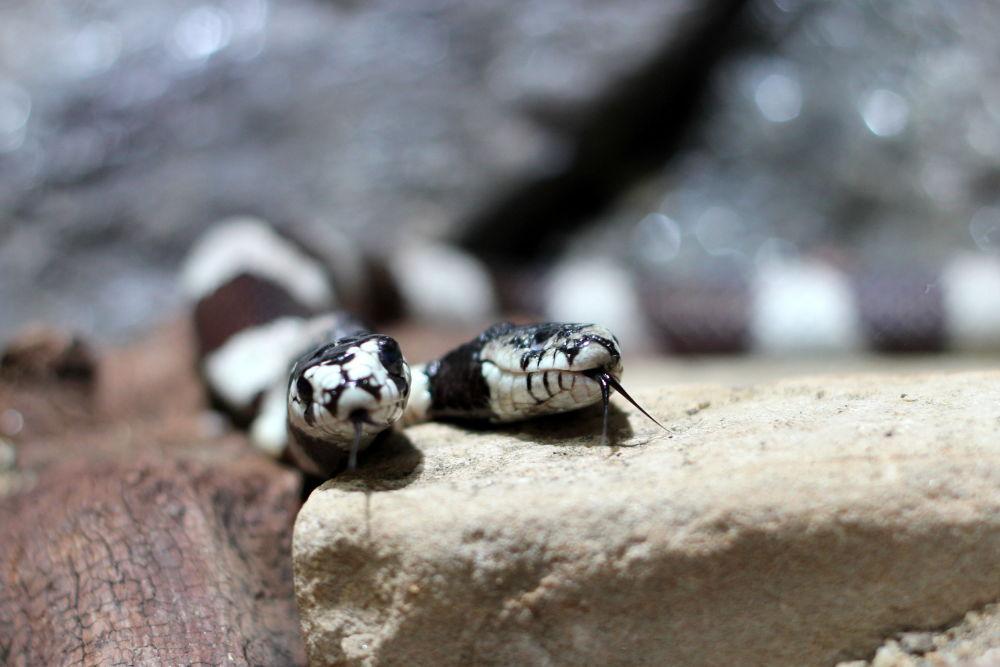 Cobra com duas cabeças, raro caso que aparece em vários países do mundo