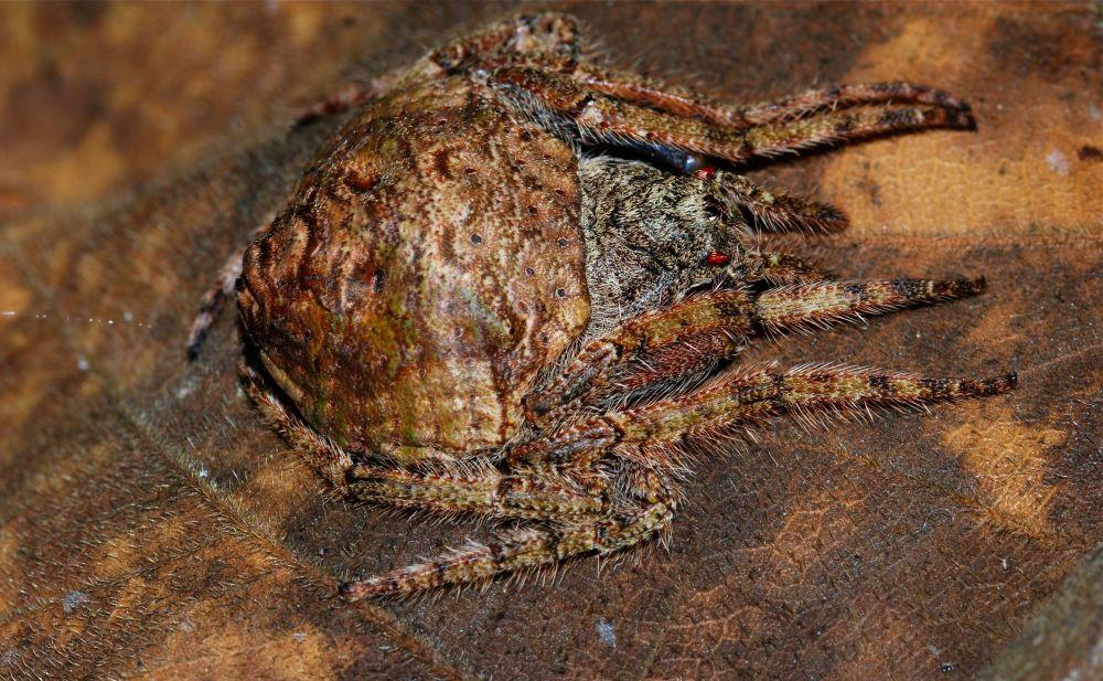 Aranha Dolophones conífera, habitante da Austrália, usa seu corpo como camuflagem