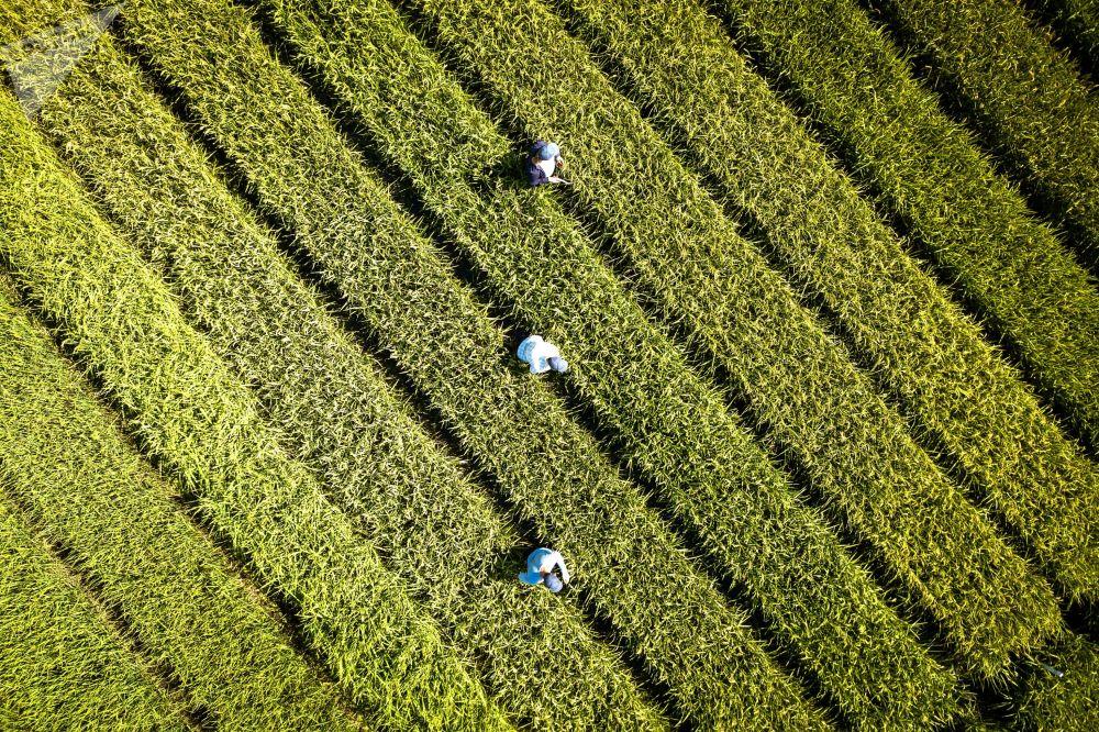 Cultivo de arroz na região de Krasnodar, Rússia, em 15 de agosto de 2018