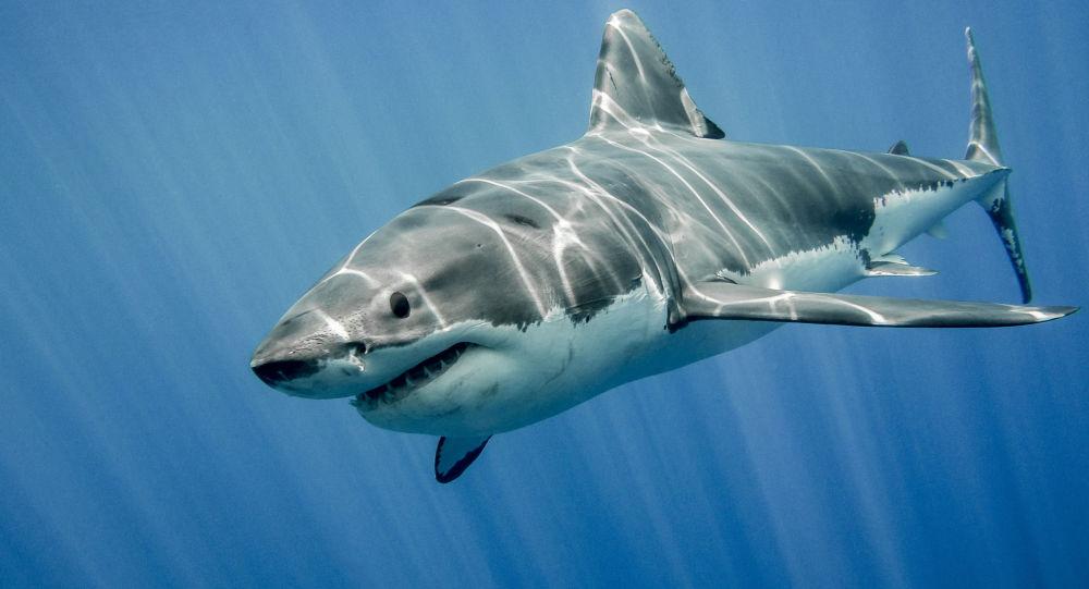Image result for tubarão-branco