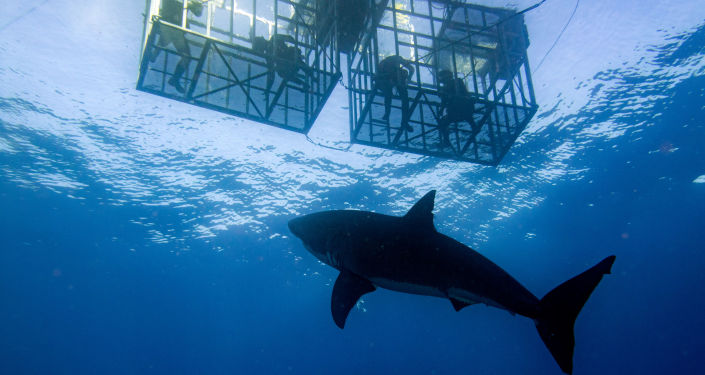 Enorme tubarão-branco golpeia gaiola de turistas durante mergulho