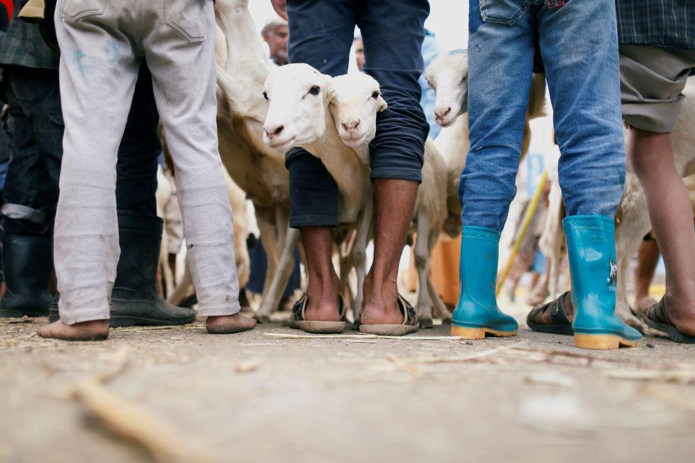 Cabras no mercado de gado durante os preparativos para a festa muçulmana Eid al-Adha, no Iêmen