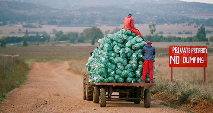 Trabalhadores agrícolas colhem repolho em uma fazenda em Eikenhof, perto de Joanesburgo