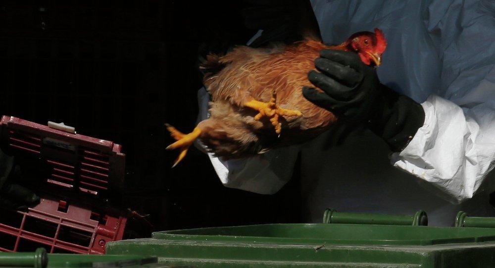 Trabalhador da saúde usando equipamento de proteção coloca um frango no lixo após abater as galinhas usando dióxido de carbono em um mercado de aves em Hong Kong (China), 31 de dezembro de 2014