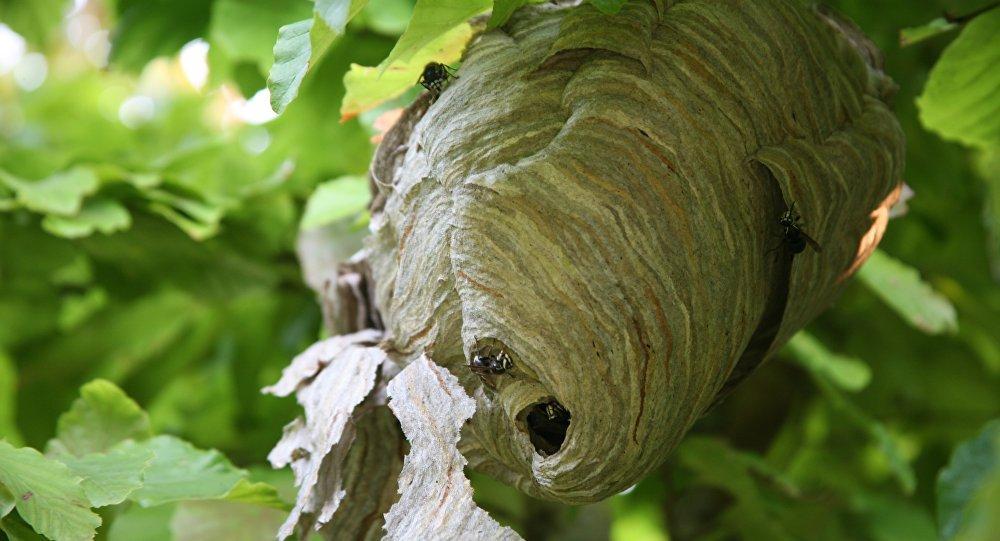 Ninho de vespas (imagem referencial)