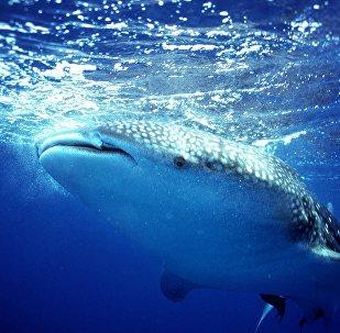 Tubarão-baleia (imagem referencial)
