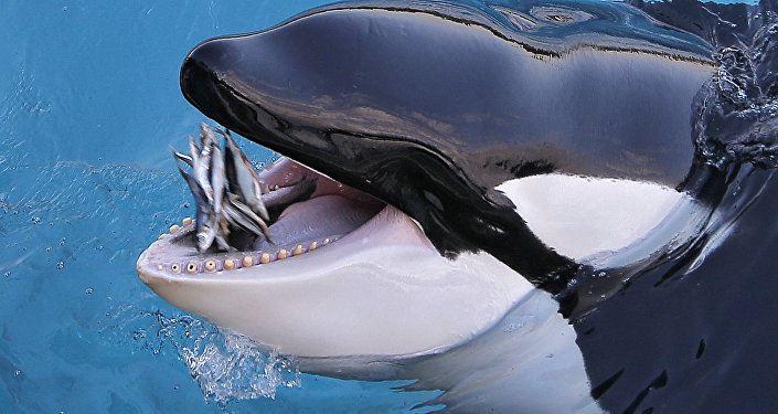 Orca come peixe no parque de exposições de animais Marineland em Antibes, sudeste da França, em 12 de dezembro de 2013 (imagem referencial)