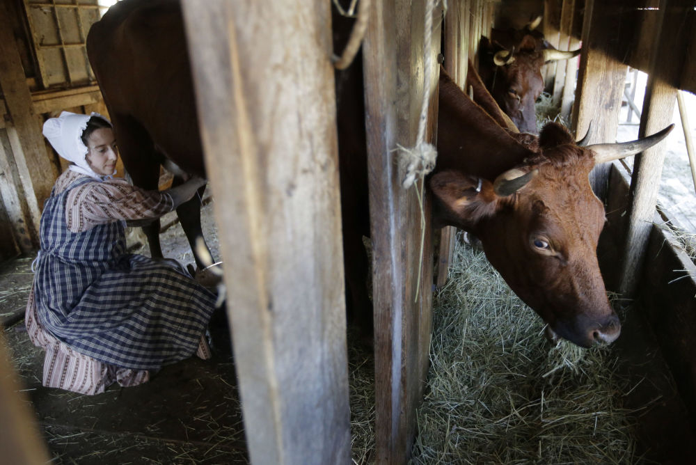 Mulher ordenha uma vaca nos EUA, em Massachusetts, em local onde é recriada a vida na Nova Inglaterra na década de 30 do século XIX