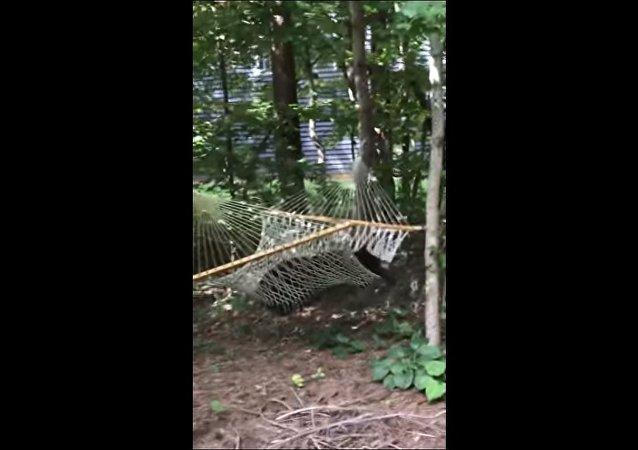 Urso invade quintal de casa para descansar na rede