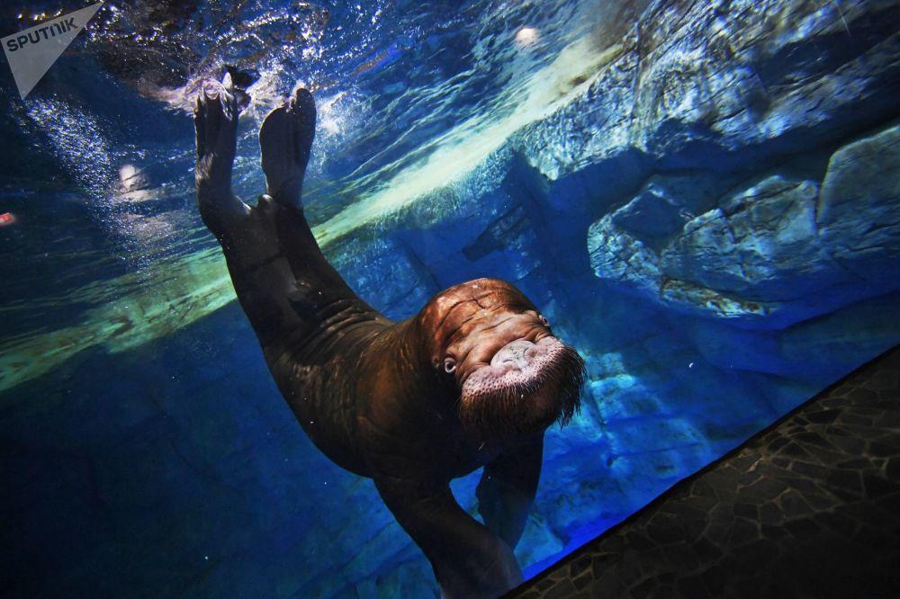 Morsa em aquário na ilha de Russky, localizado na região russa de Vladivostok, em 6 de setembro de 2018