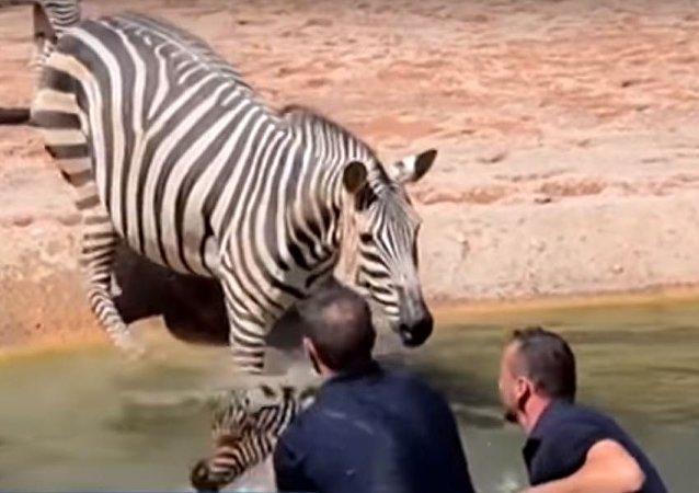 Zebra recém-nascida do Bioparc Valencia é salva por funcionários do zoológico após quase morrer afogada