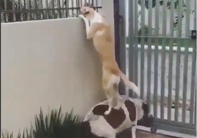 Cachorros encontram maneira de falar com o vizinho