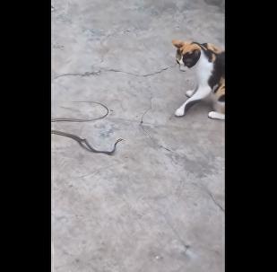 Gatinho corajoso dá patadas na cobra