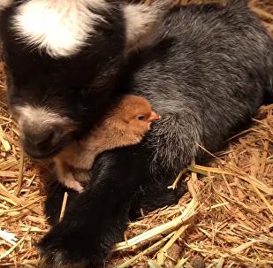 Amizade na fazenda: cabrito dá abraço caloroso em jovem frango