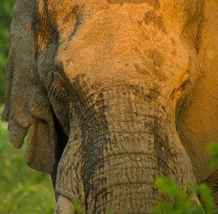 Elefante (imagem referencial)