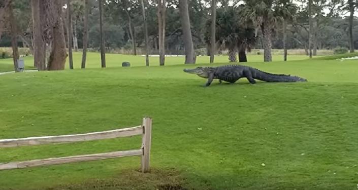 Jacaré atrapalha jogo de golfistas e deixa claro quem manda no lugar