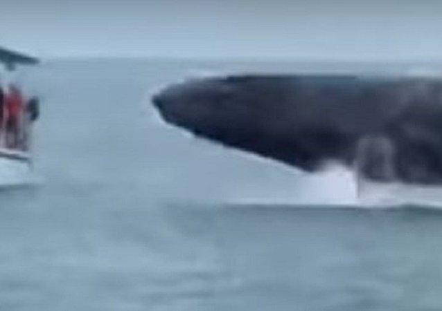 Baleia gigante quase faz virar barco turístico na Costa Rica