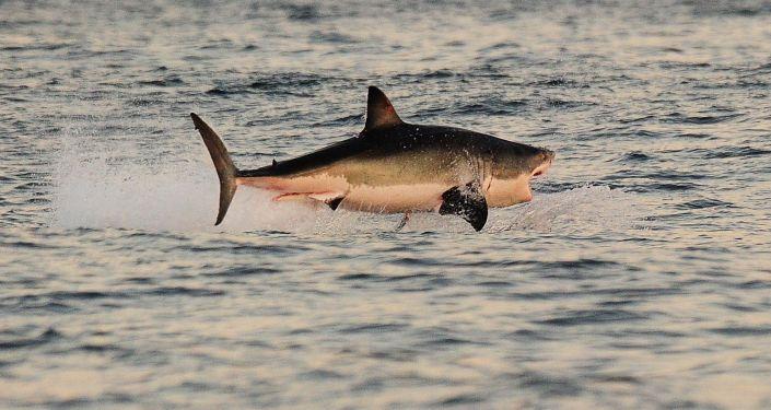 Tubarão-branco perto da costa da África do Sul