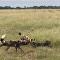 Búfala fica desesperada ao ver alcateia de hienas atacando filhote