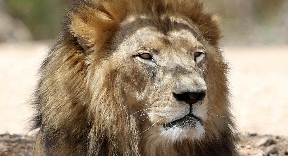 Leão (imagem ilustrativa)