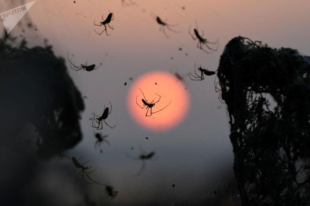 O amanhecer visto em segundo plano, enquanto o foco principal da câmera é dado a aranhas que cobrem arbustos com sua teia, área do lago Vistonida