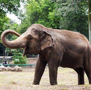 Filhote de elefante no Zoológico Ragunan de Jacarta, Indonésia