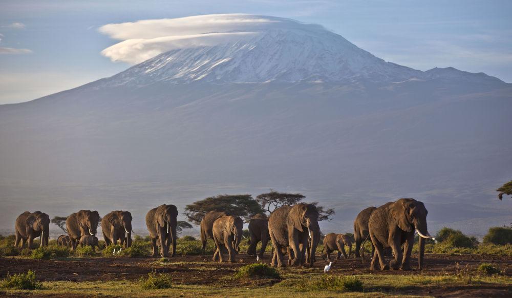 Manada de elefantes com a montanha do Kilimanjaro ao fundo, Quênia. A montanha mais alta da África está rapidamente perdendo sua capa de neve. O desflorestamento levou à redução de vapor d'água e, por conseguinte, à diminuição de nevadas sobre o cume