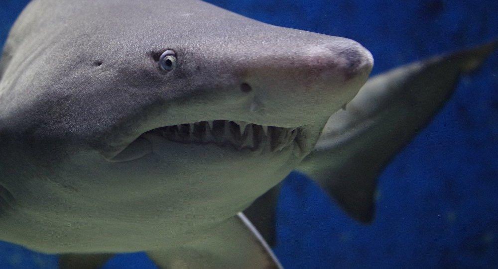 Um tubarão