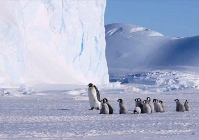 Filhotes de pinguins seguem ave adulta durante passeio na Antártica