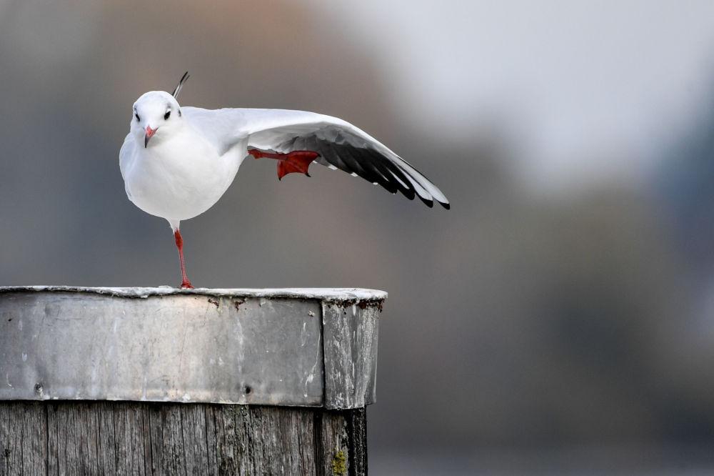Gaivota aparece junto ao lago Constança, no sul da Alemanha